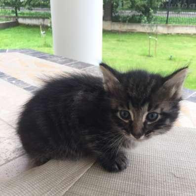 Котёнок для души Москва! Московская область! Маленький пушис Фото 2