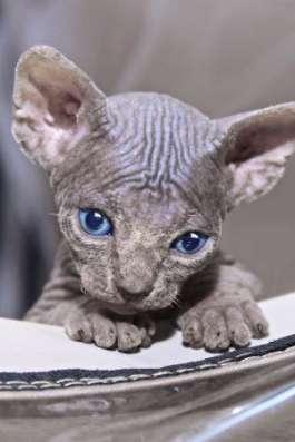 Котята канадского сфинкса из питомника ANIMALS of Prophecy в г. Королёв Фото 4