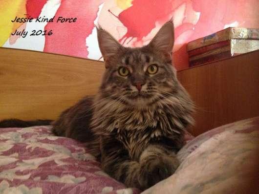 Кошечка мейн-кун голубого мраморного окраса
