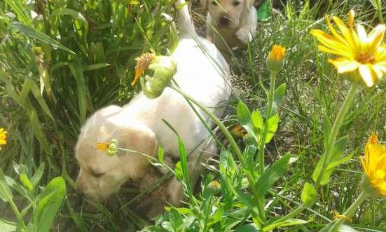 Плановые породистые щенки лабрадора, дети чемпиона Украины