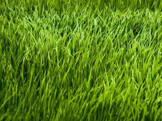 Семена многолетних газонных трав (отдельные виды)