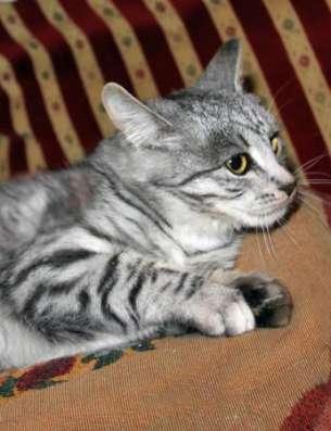 Прекрасная Сильвия котенок-подросток ищет дом.