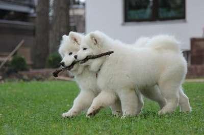 Самоед щенки в Иркутске Фото 5