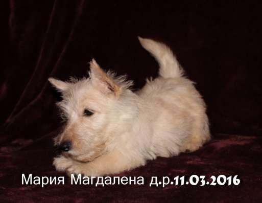 Шикарные щенки скотч-терьера в Москве Фото 2