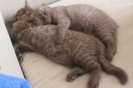 Шотландские котята в Москве Фото 1