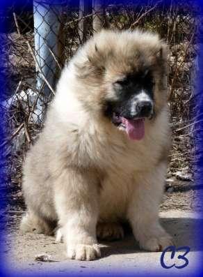 Продаю щенков кавказской овчарки в Москве Фото 1