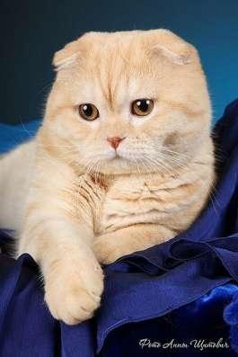 Британские котята элитных кровей в Санкт-Петербурге Фото 2