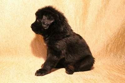 Тибетский Мастиф - щенок в Уфе Фото 3